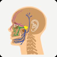 trigeminal_nerve